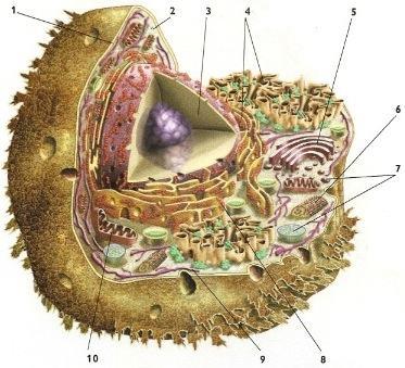 As partes de uma célula animal