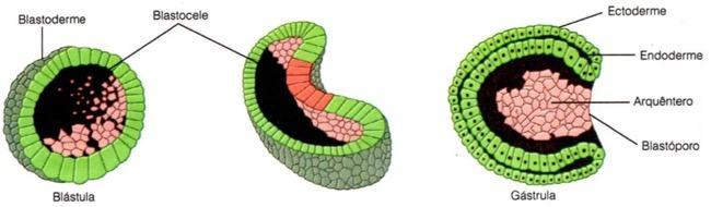 Etapas da gastrulação no desenvolvimento embrionário dos animais
