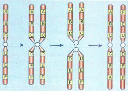 Formação de isocromossomos