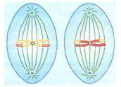 Metáfase II na meiose