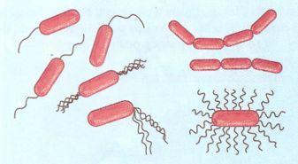 Bacilos do reino monera