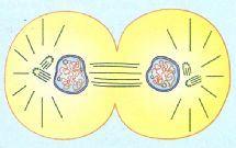 Fim da telófase no ciclo celular