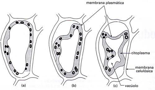 Atuação do vacúolo nas células vegetais