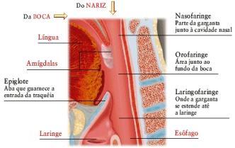 esquema da faringe ou garganta