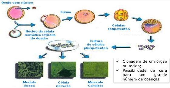 Como funciona a clonagem terapêutica