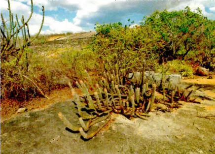 Vegetação da Caatinga