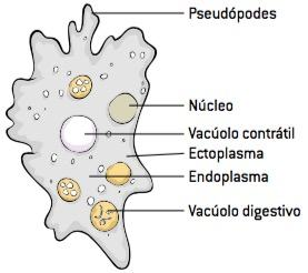 Figura mostrando como são os protozoários.