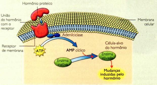Funcionamento dos hormônios proteicos.