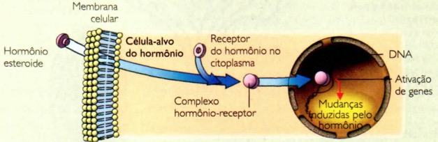 Funcionamentos dos hormônios esteroides.