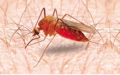 Vetor da malária