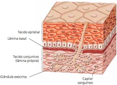 Estrutura do tecido epitelial.