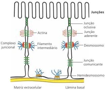 Junções intercelulares do tecido epitelial.