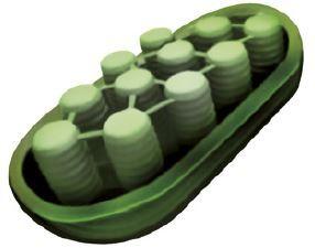 Organelas cloroplasto.