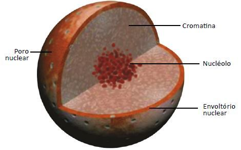 Estruturas do núcleo celular.