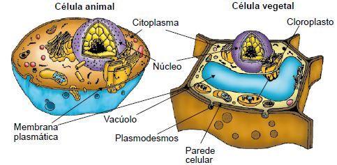 Diferenças entre a célula animal e vegetal.