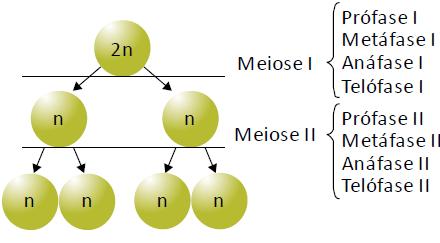 Fases da meiose.