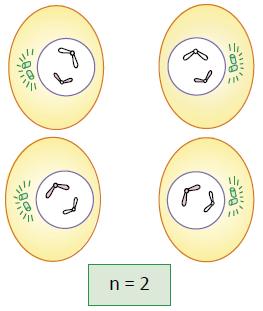 Telófase II - Fase da meiose.