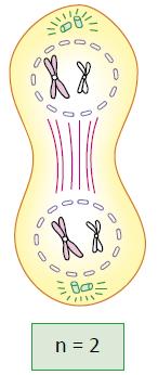 Telófase I - Fase da meiose.