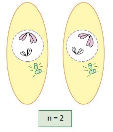 Prófase II - Fase da meiose.