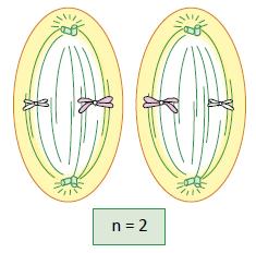 Metáfase II - Fase da meiose.
