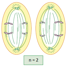 Anáfase II - Fase da meiose.