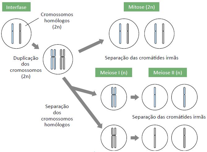 Comparação entre mitose e meiose.
