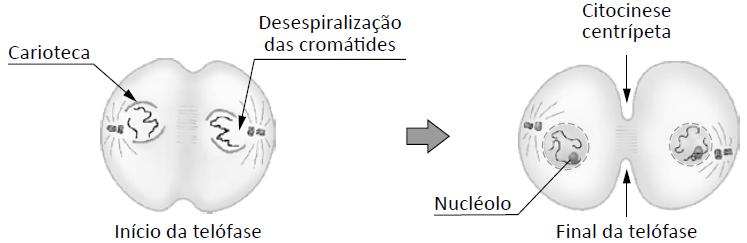 Telófase - quarta fase da mitose.