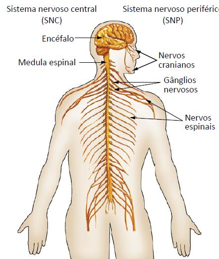 Divisões do sistema nervoso.