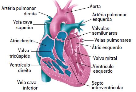 Coração humano.