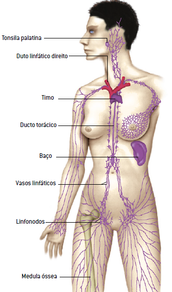 Sistema linfático humano.