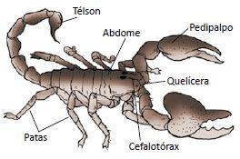 O escorpião é um aracnídeo.