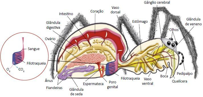 Anatomia de um aracnídeo.