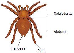 Aracnídeos são artrópodes.