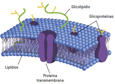 Membrana Plasmática Estrutura E Especializações Cola Da Web