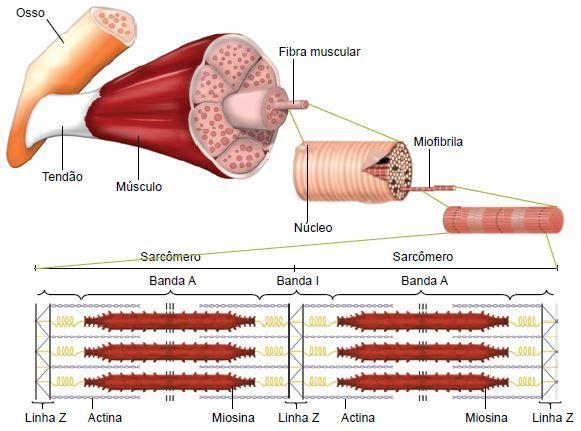 Sistema Muscular Cola Da Web