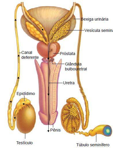 Partes do sistema genital masculino
