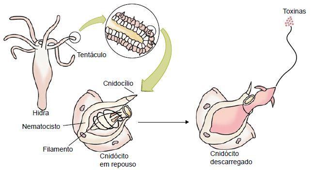 Estrutura dos cnidários.