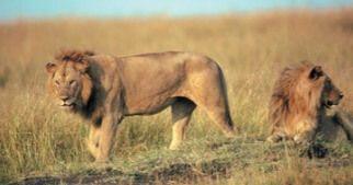 Foto de dois leões.