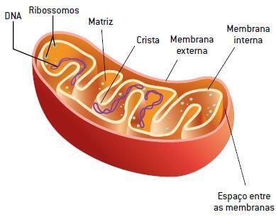 Estrutura da mitocôndria.