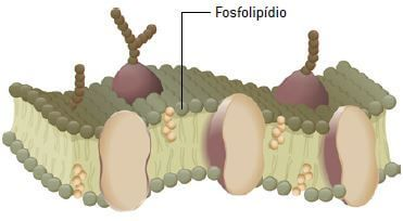 Lipídios na membrana celular.
