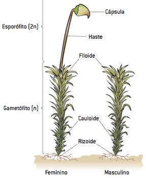 As partes de uma briófita, com destaque para os gametófitos haploides formados por filoides, que realizam fotossíntese, cauloides e rizoides.
