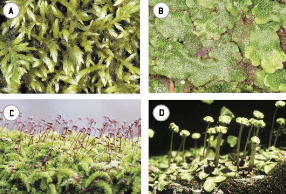 Diferentes tipos de briófitas