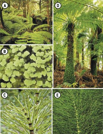 Tipos de pteridófitas.
