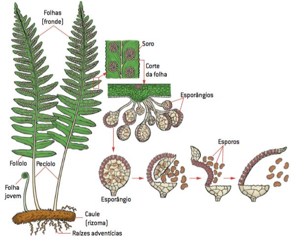 As partes de uma pteridófita, raízes adventícias, caule do tipo rizoma, folhas adultas divididas em folíolos, folhas jovens com extremidade enrolada, chamada báculo, e esporângios, responsáveis pela produção de esporos.