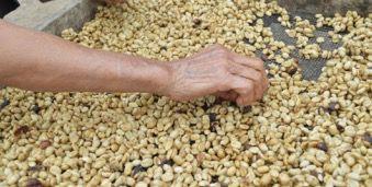 Homem separando grãos estragados do feijão.