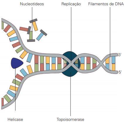 Ação da enzima helicase na duplicação do DNA.