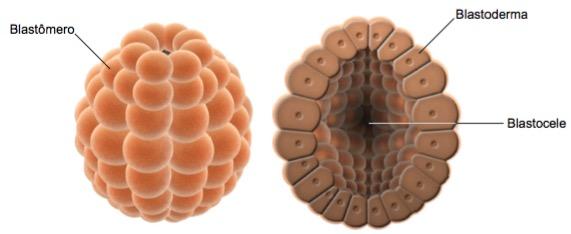 Partes do embrião na blástula.