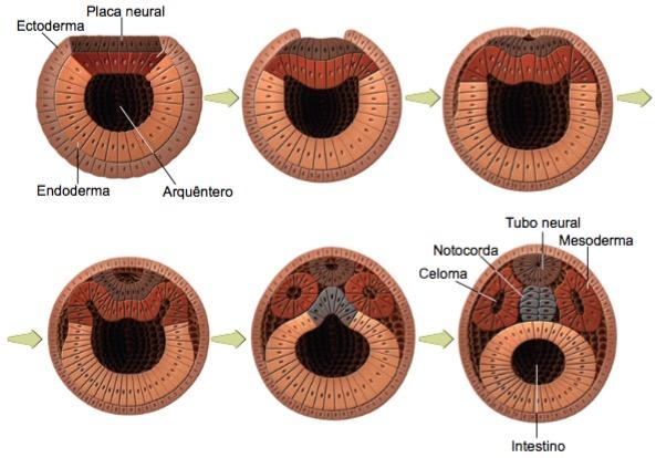 Fase da neurulação do embrião.