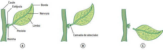 Hormônio vegetal que auxilia na queda das folhas.