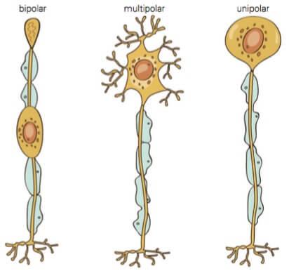 Classificação dos neurônios.